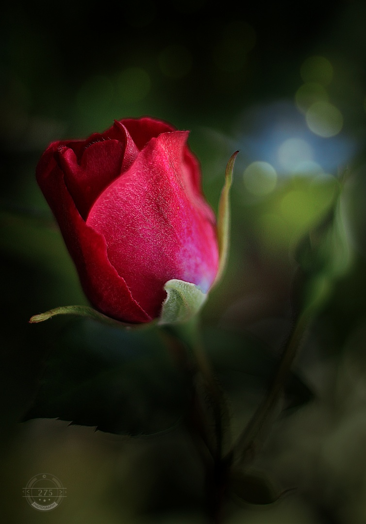 Macro/call me rose of the morning