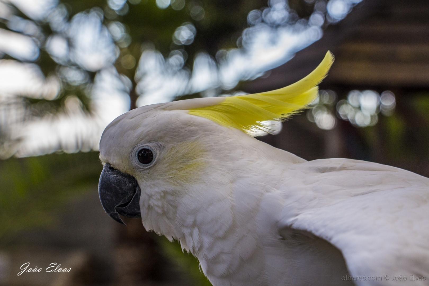 Animais/Cacatua