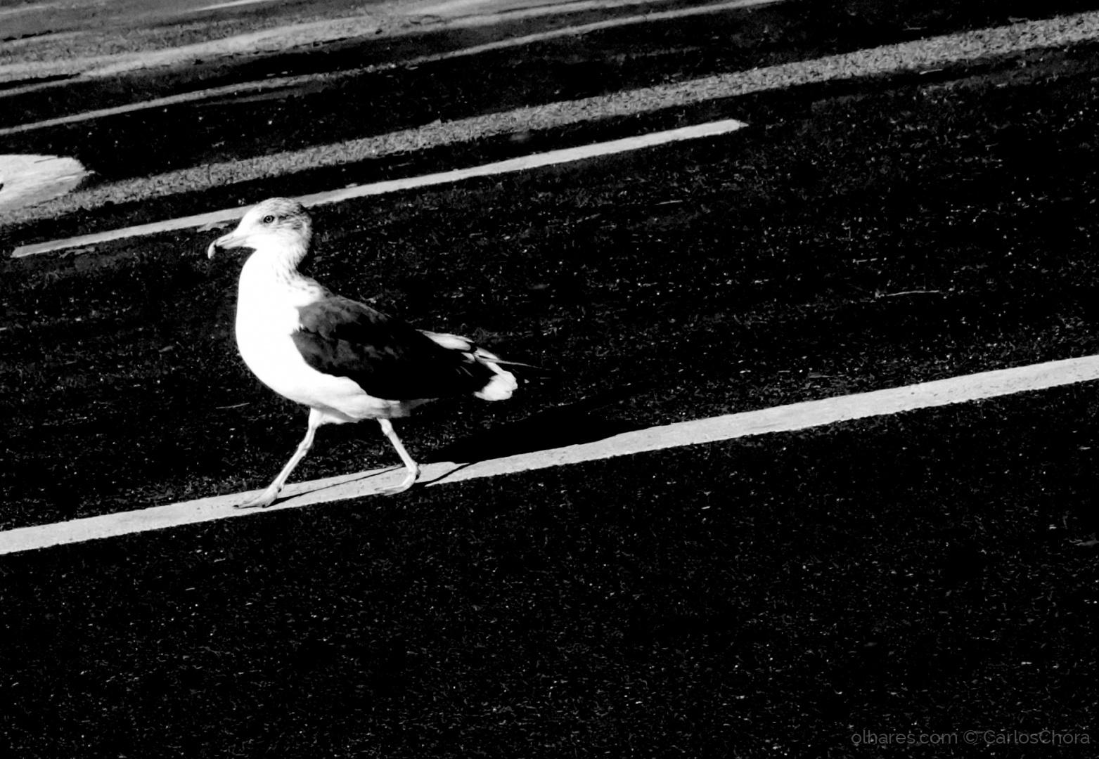 Animais/A gaivota q andava na linha