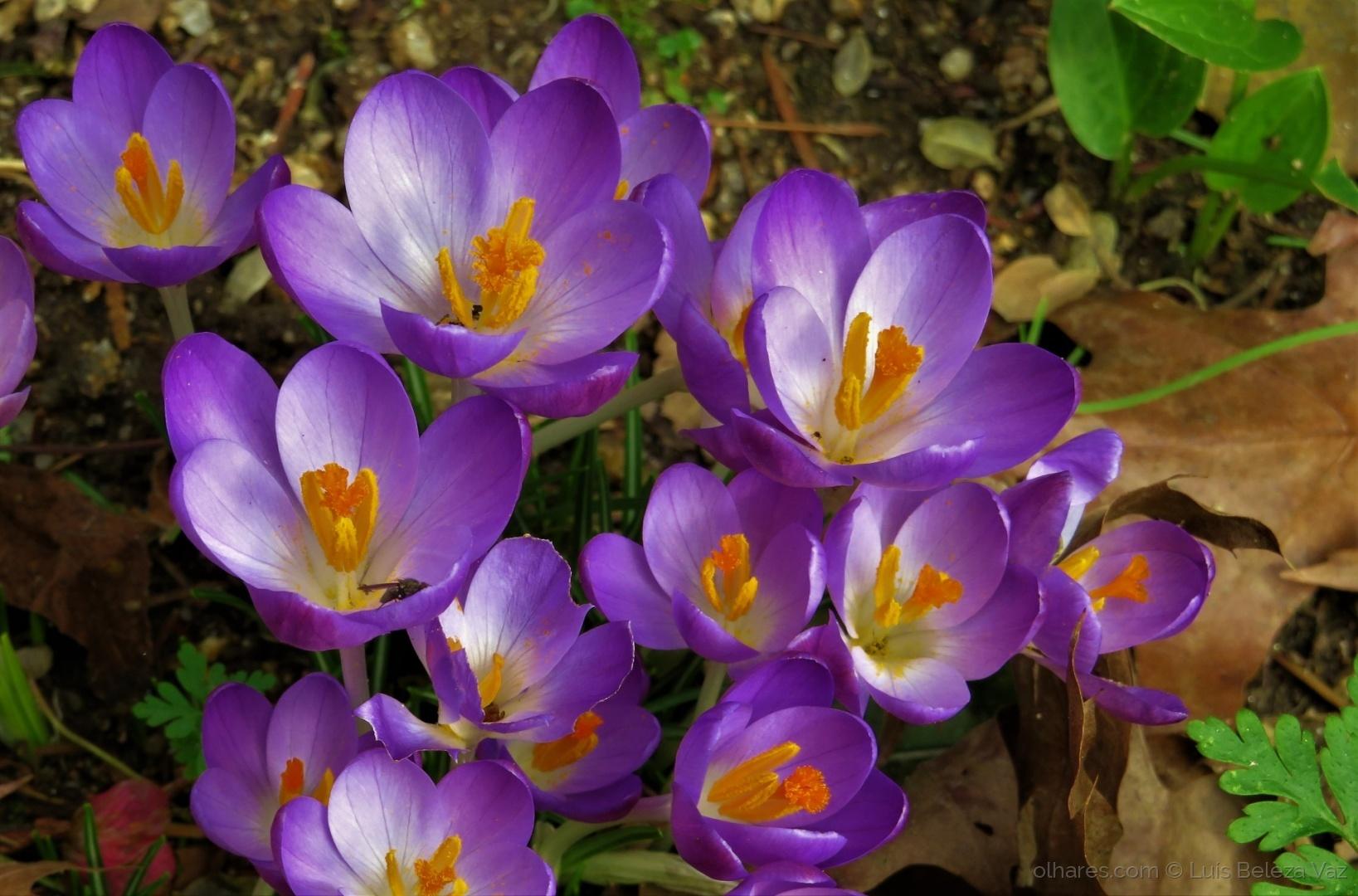 Macro/crocus sativus do meu jardim