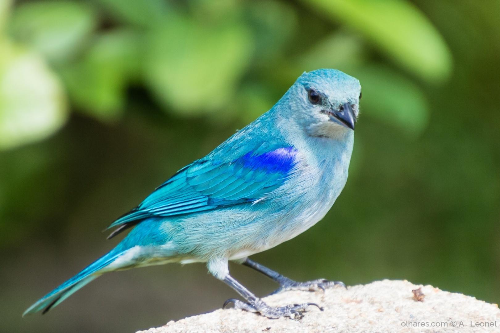 Animais/Sanhaçu-de-encontro-azul