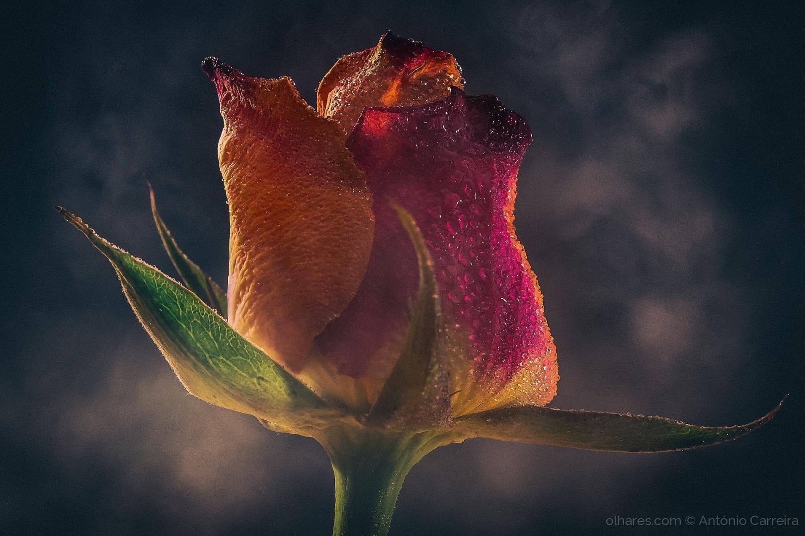 Macro/O poder da rosa (...)
