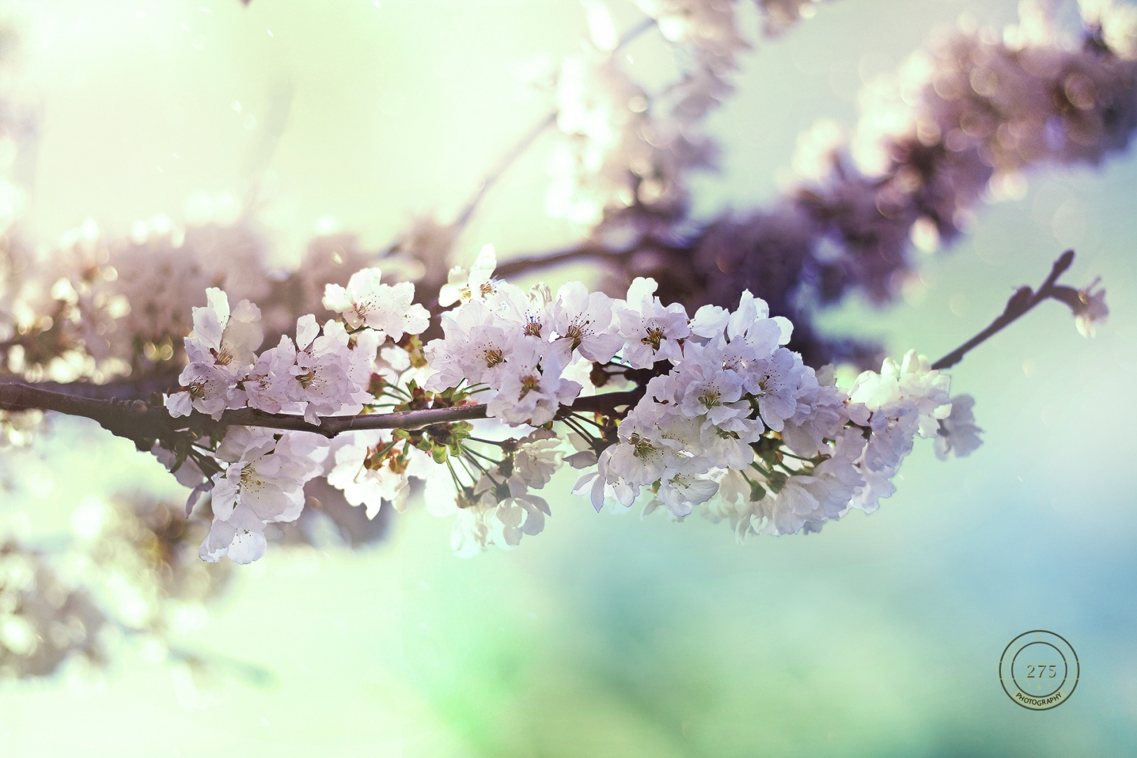 Paisagem Natural/sakura sakura