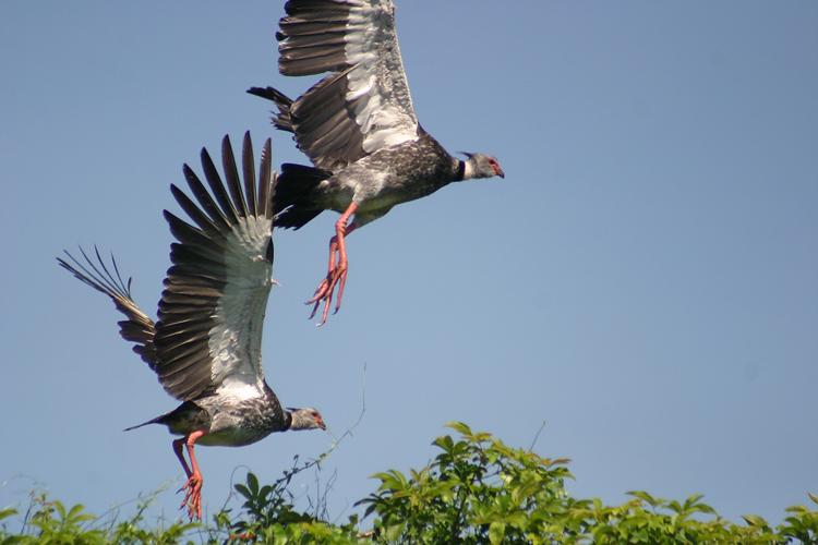 Animais/Tachãs decolando - Pantanal/MS
