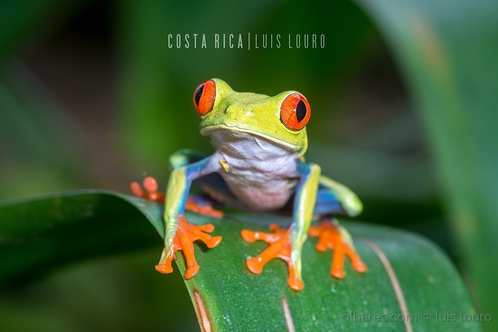 Macro/Red-eyed Tree Frog