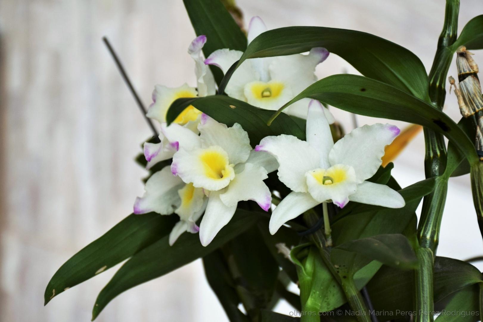 Paisagem Natural/Ah...Se tudo fosse belo como a orquídea do jardim.