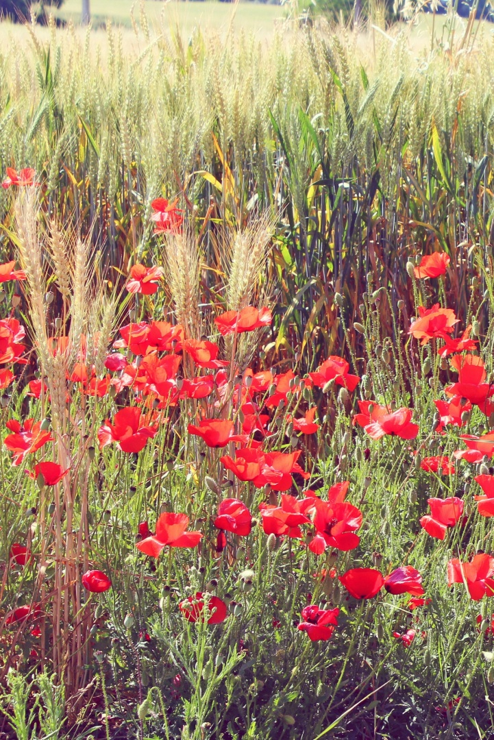 Paisagem Natural/Poppies