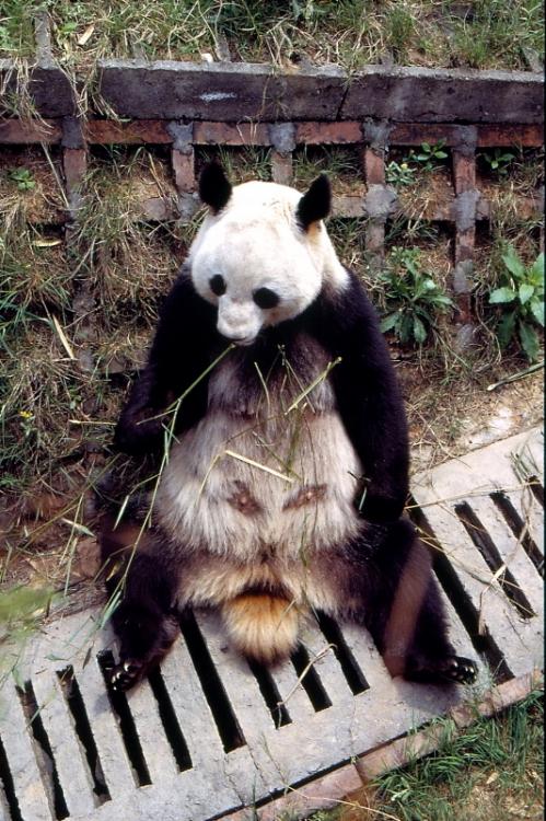 Animais/Panda gigante   - China