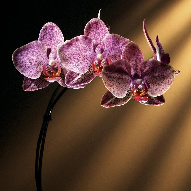 Macro/O perfume da flor