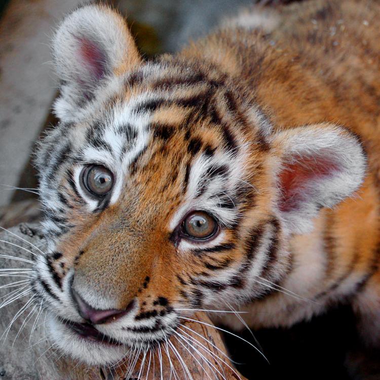 Animais/Pequeno Tigre