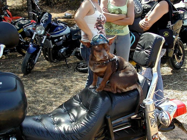 Animais/Cão motard