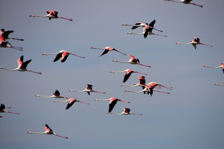 Animais/o voo dos flamingos