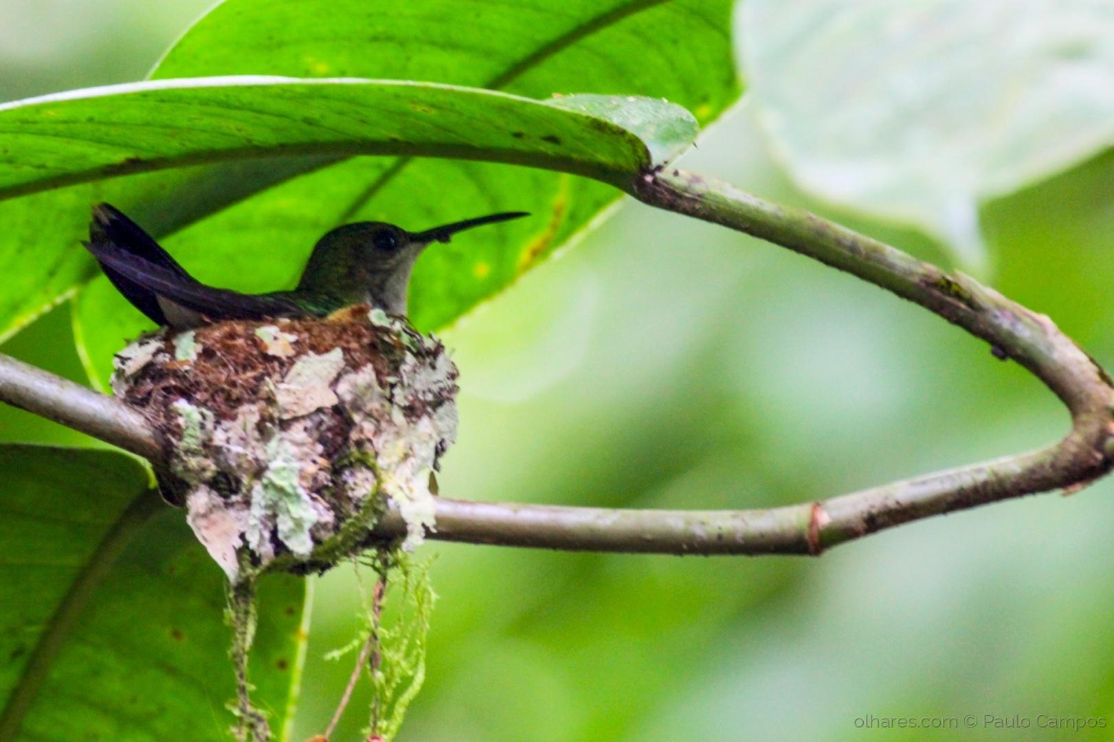 Animais/Beija-flor no ninho