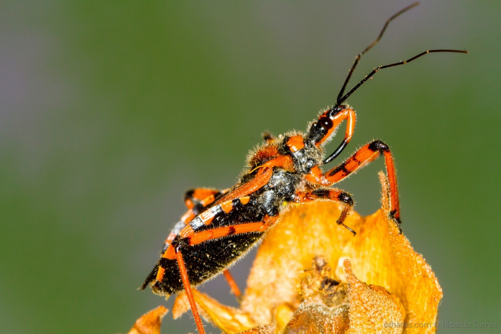Macro/Red Assassin Bug