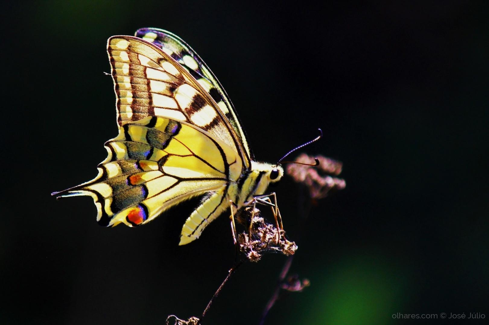 Macro/Papillon machaon