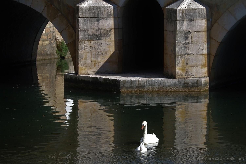 Animais/O Cisne e o Pato adoptivo - Tomar