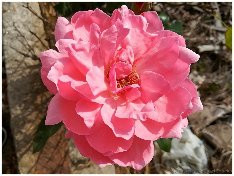 Macro/Rosa, rosa