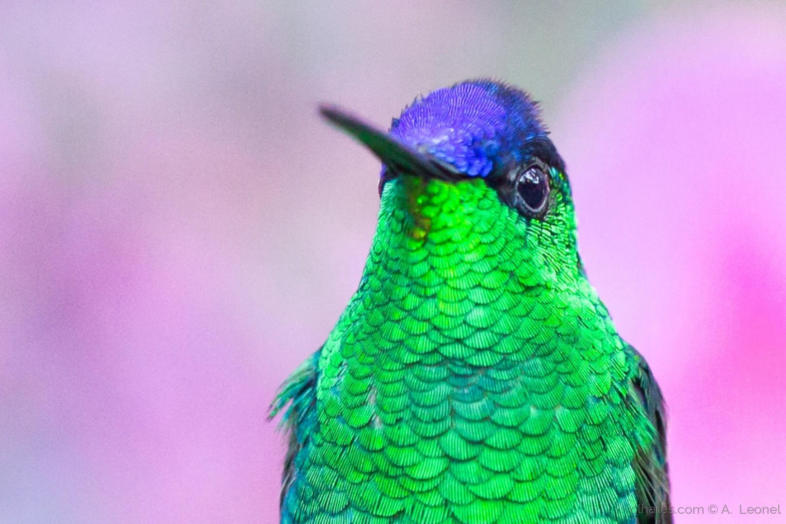 Animais/Beija-flor-de-fronte-violeta
