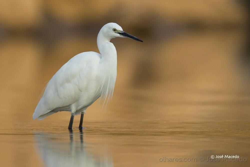 Animais/Garça-branca-pequena; Little egret (Egretta garzet