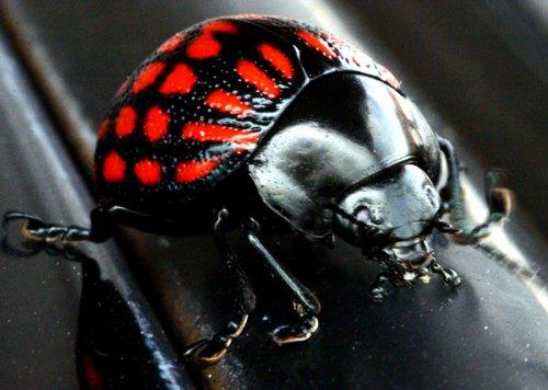 Macro/Escaravelho PRETO e VERMELHO