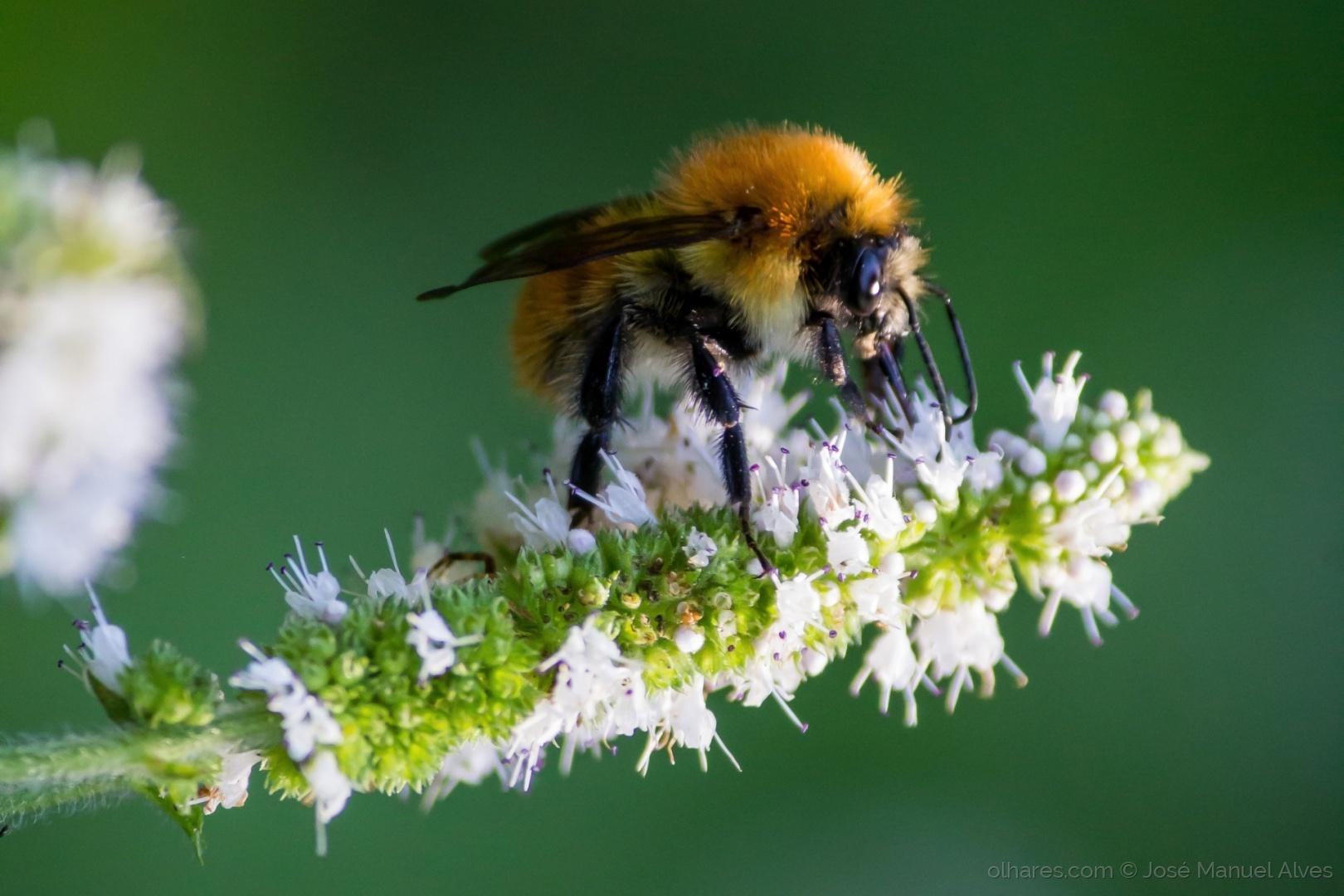 Macro/Diário de uma abelha
