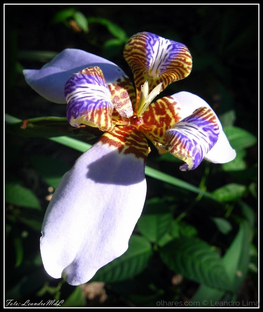 Macro/Lírio ou Flor de Lis (ler)