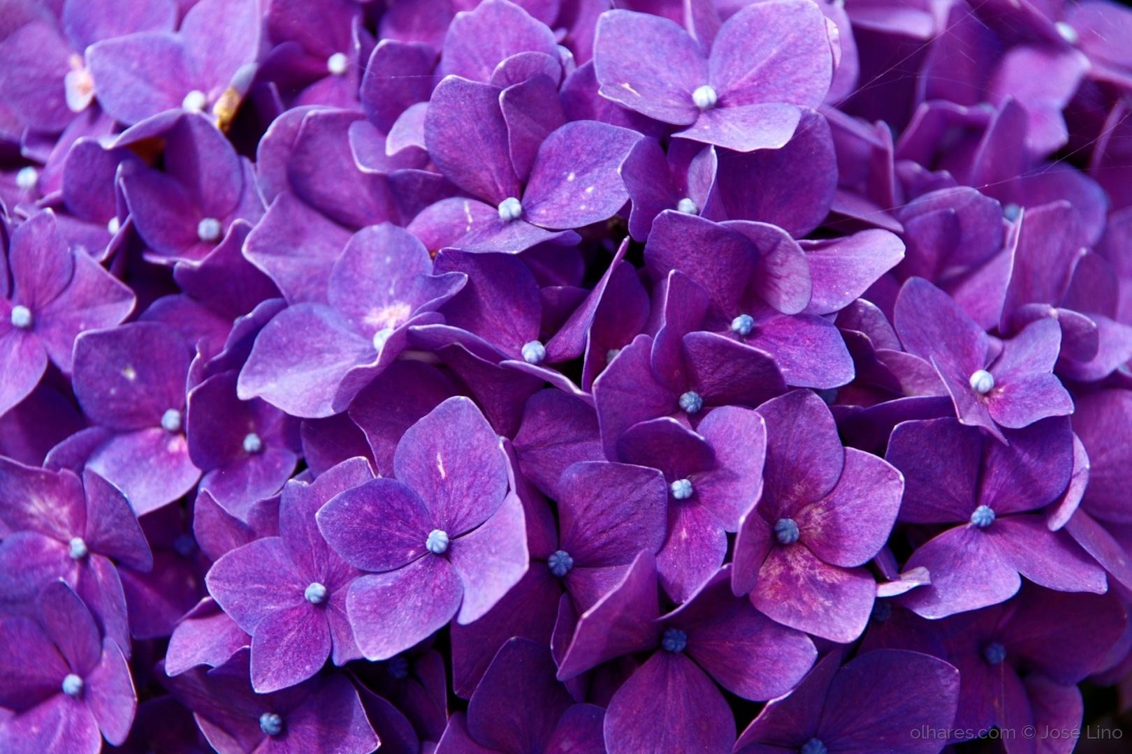Macro/ Buquê de flores de Hortênsia
