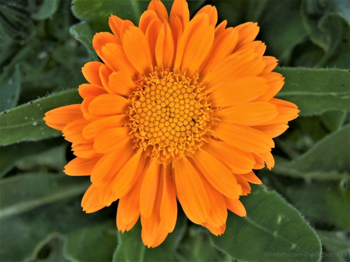 Macro/Margarida (Calendula Officinalis)