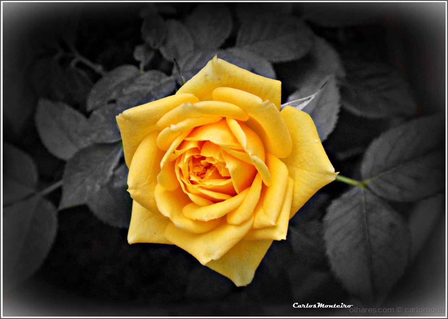 Macro/Yellow Rose