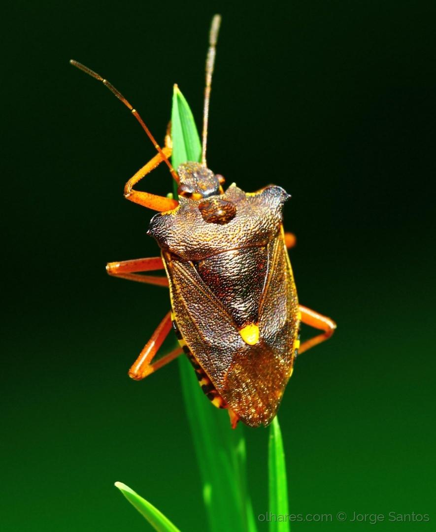 Macro/escaravelho