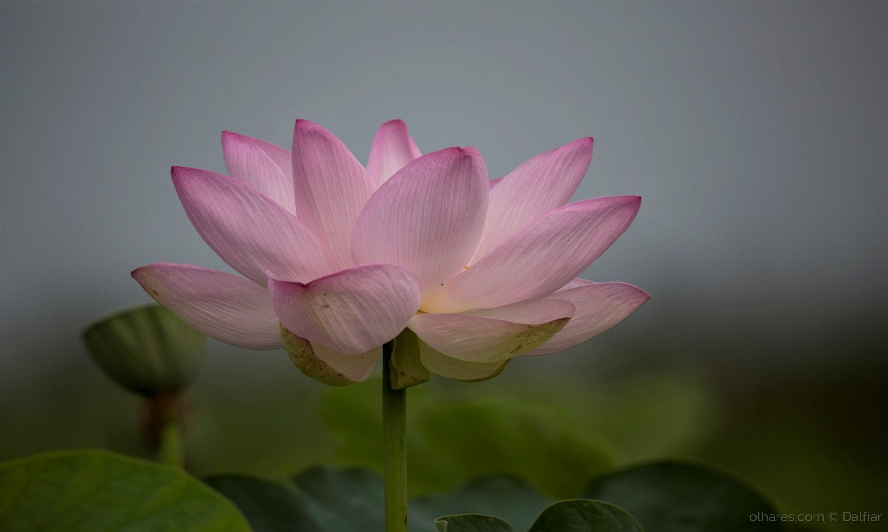Paisagem Natural/Flor de Lótus
