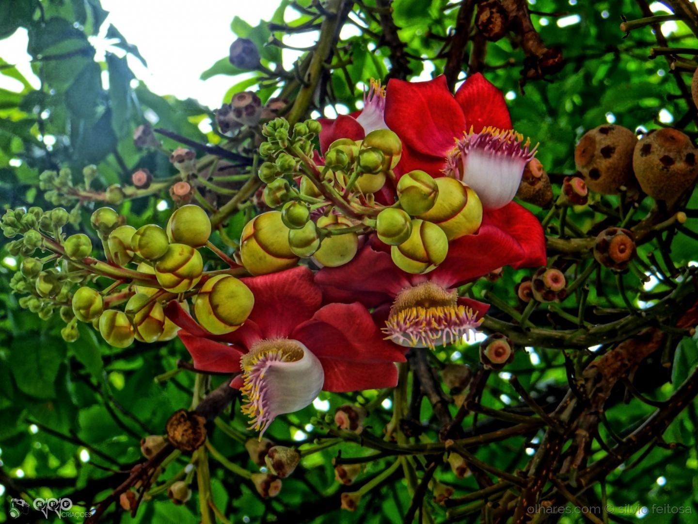 Macro/Flor de cunhã
