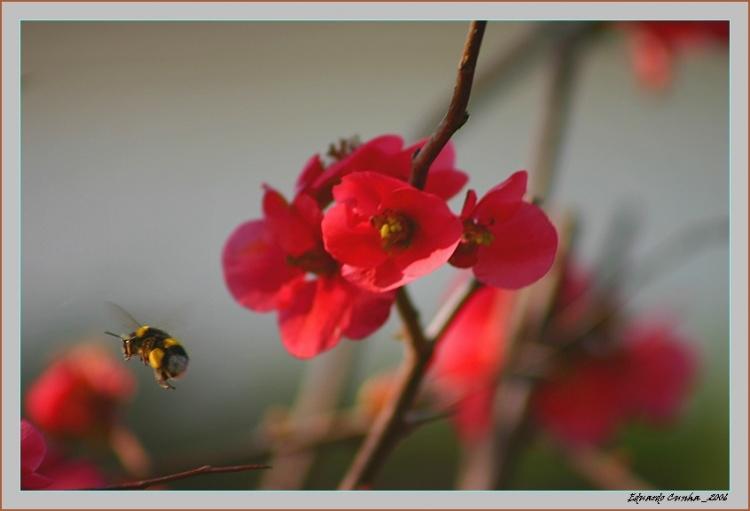 Macro/Abelha no Pessegueiro de Jardim