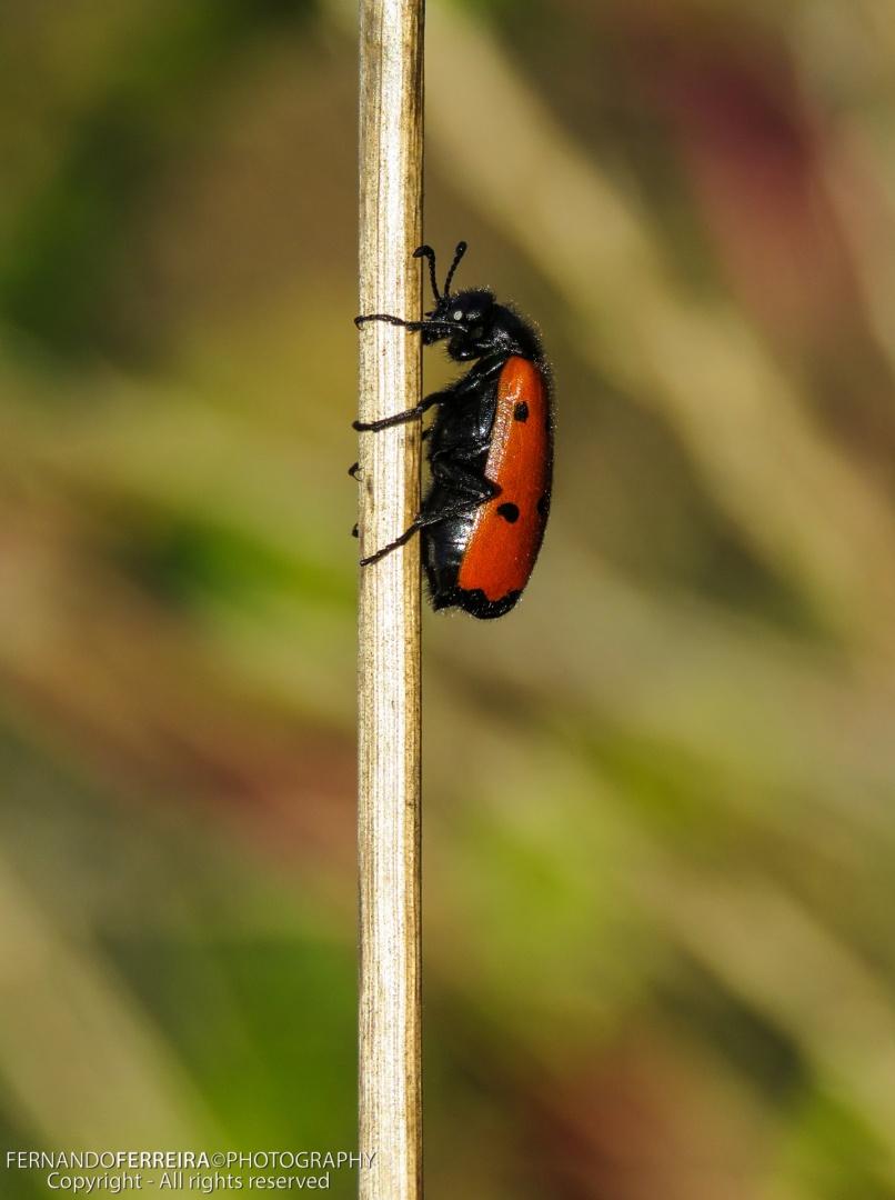 Macro/Escaravelho Milabris-dos-4-pontos (Mylabris quadri