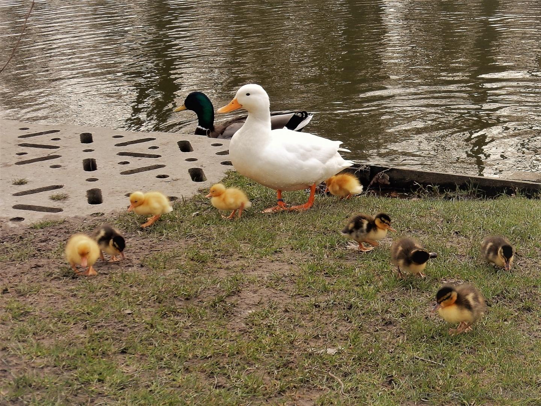Animais/Familia de Patos