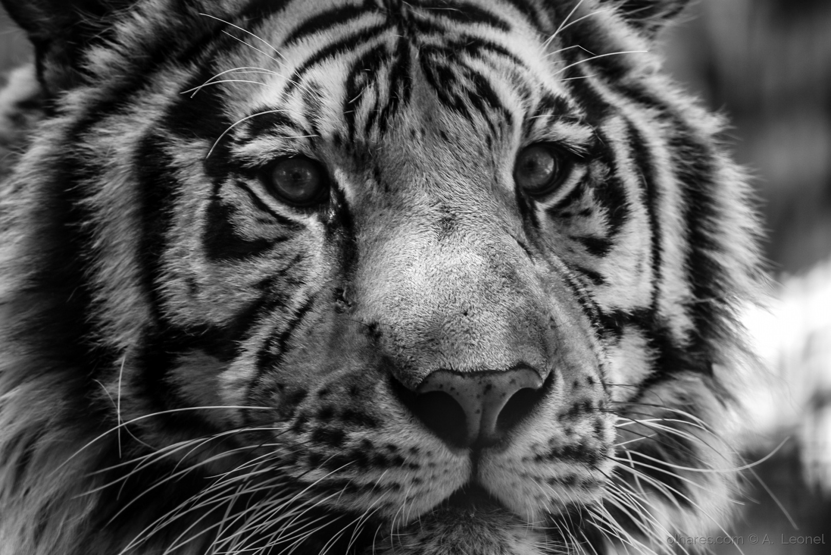 Animais/Tigre de Bengala