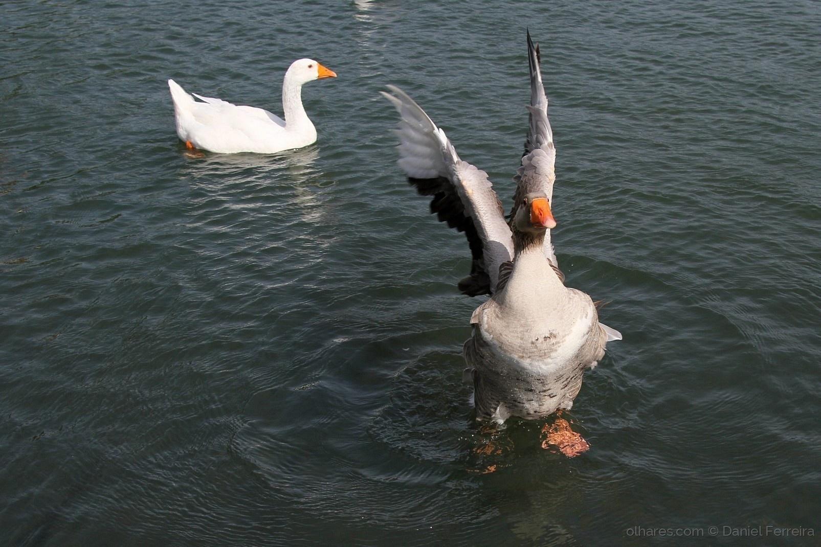 Animais/O ganso batendo a asa, no lago