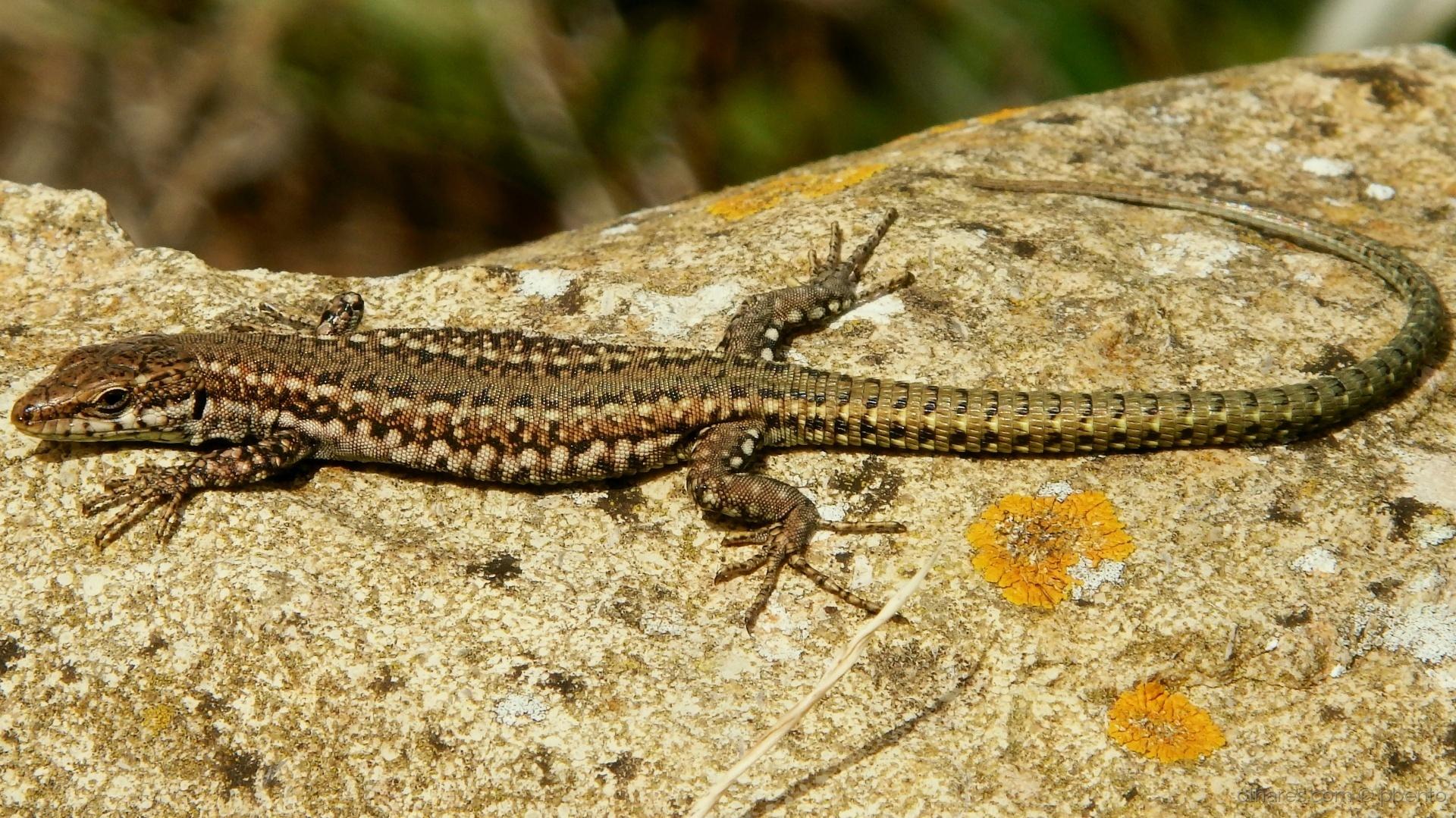 Animais/Bom tempo para os lagartos?