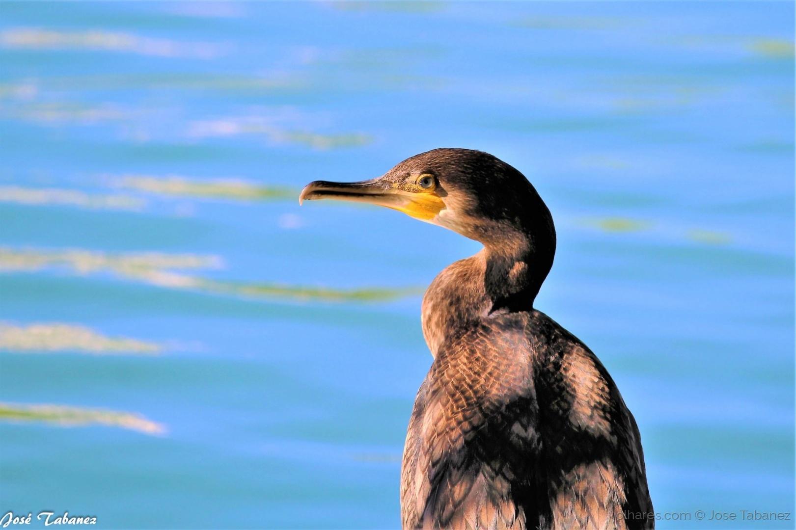 Animais/Corvo marinho de faces brancas - Phalacrocorax car