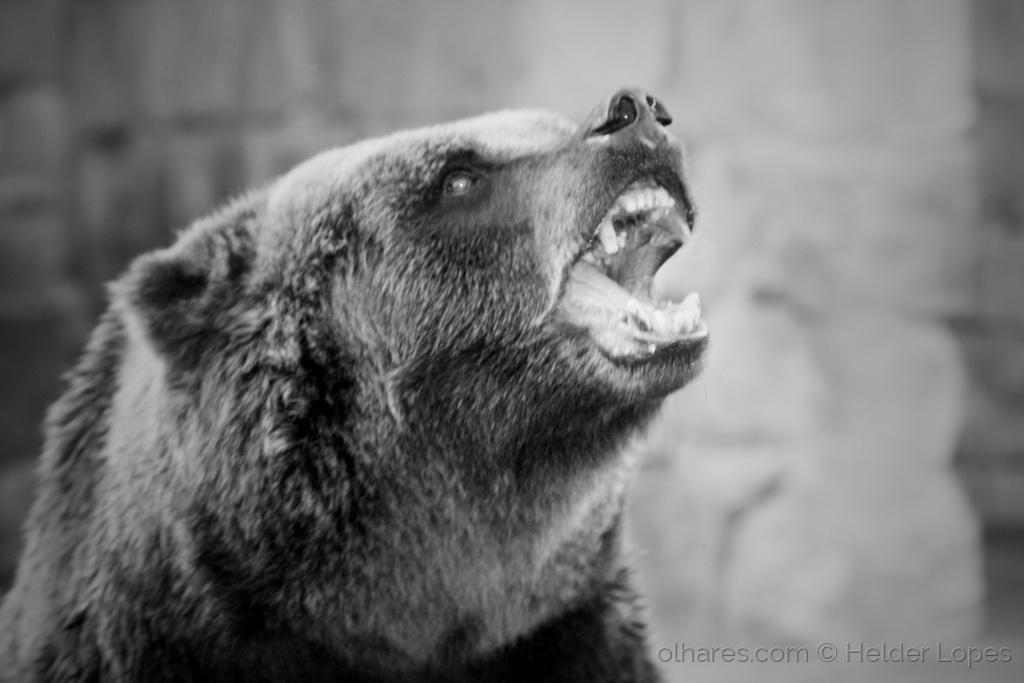 Animais/O grito do Urso