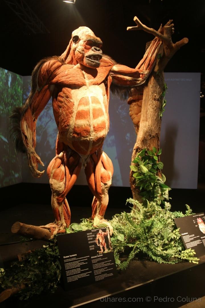 Perfecto Anatomía Del Gorila Ilustración - Imágenes de Anatomía ...