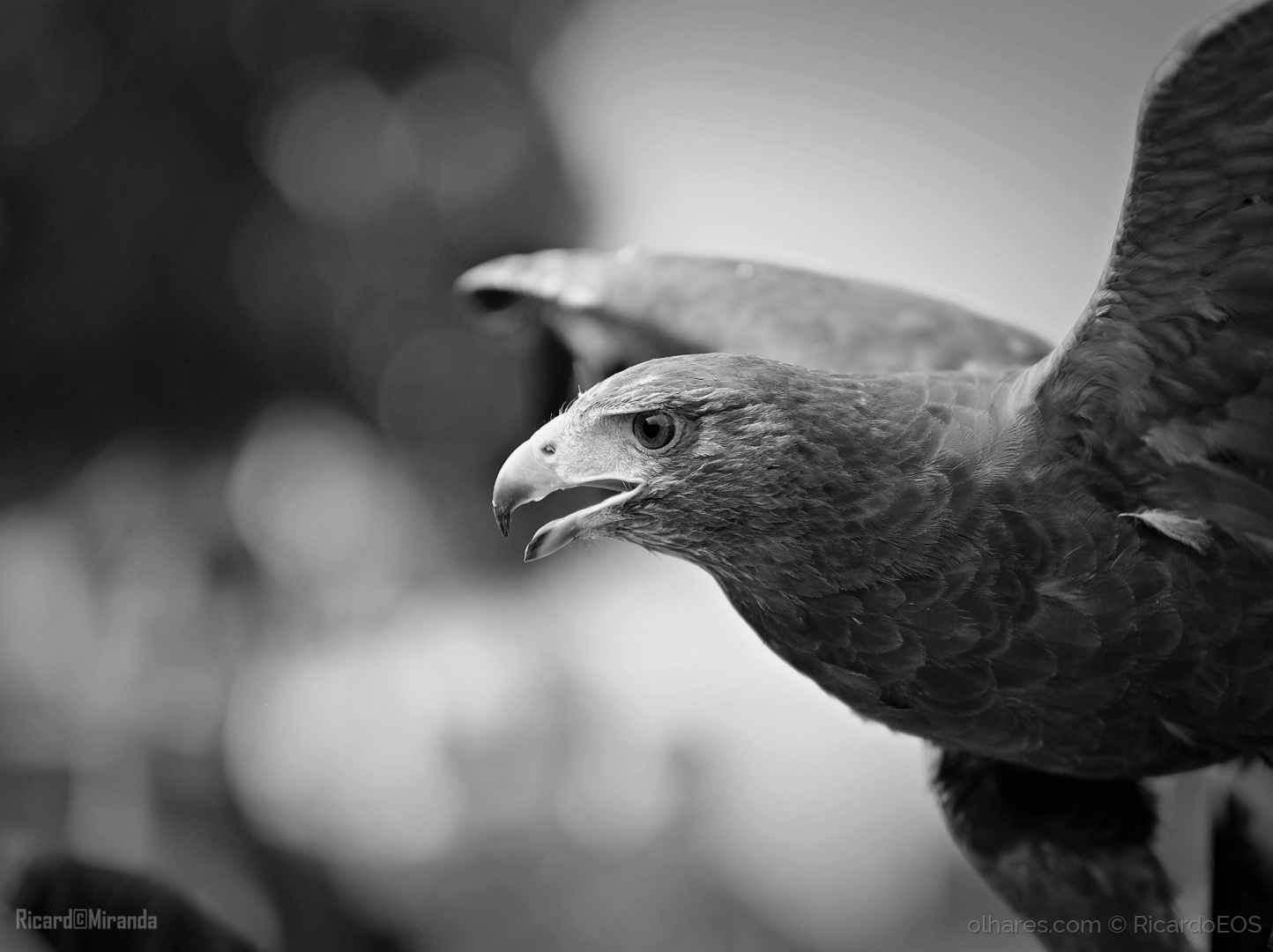 Animais/Águia de Harris