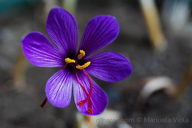Macro/Flor do açafrão