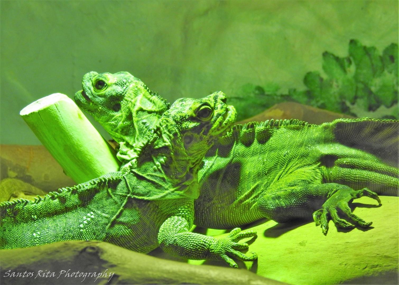 Animais/Iguanas