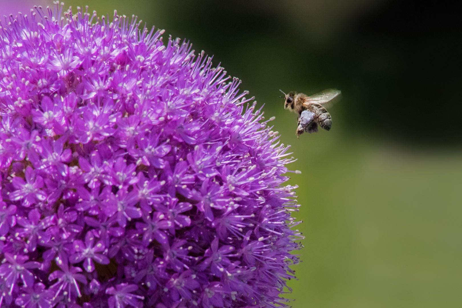 Macro/carregando néctar #2