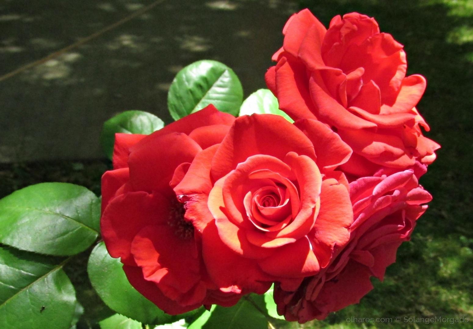 Paisagem Natural/A mais formosa é a Rosa (ler)