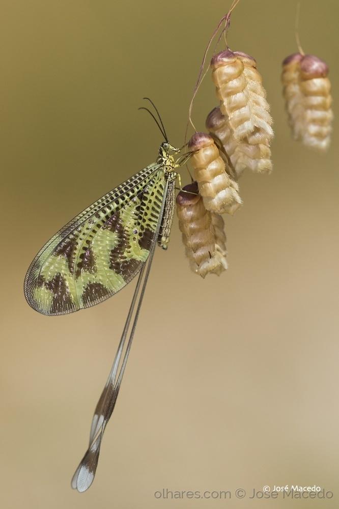 Macro/Nemoptera bipennis