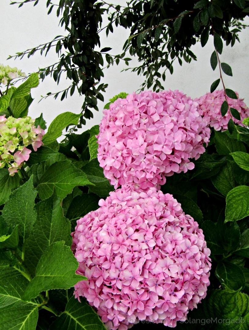Paisagem Urbana/Hortências flores de verão