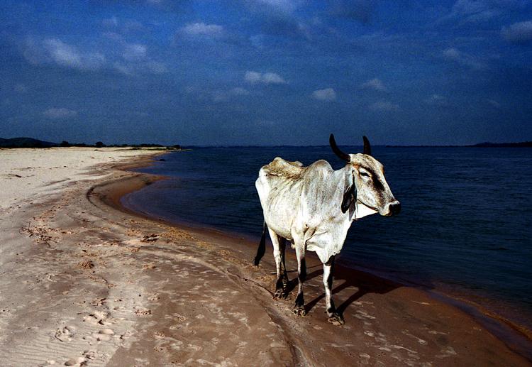 Animais/uma vaca na praia