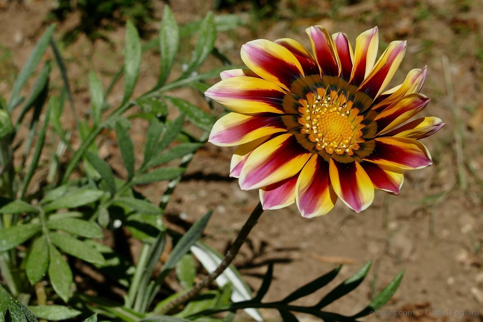 Macro/Uma flor de jardim